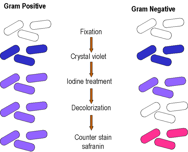 bacteria classification by gram staining The gram staining method, named after the danish bacteriologist who originally   are stained by the gram's method are commonly classified as gram-positive or  gram  gram staining is based on the ability of bacteria cell wall to retaining the .